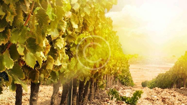 Dingač vinograd